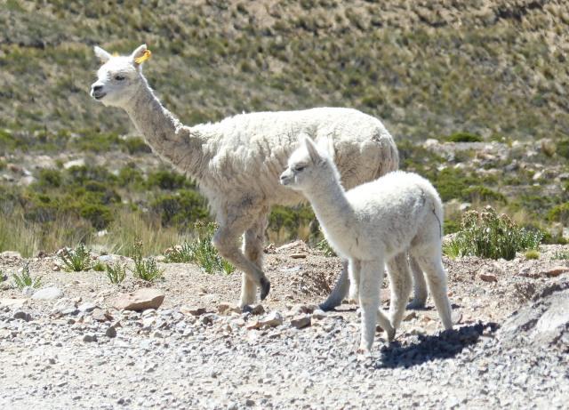 Arequipa Peru to Colca Canyon